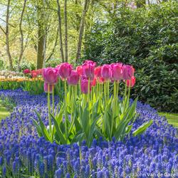 Keukenhof tulpen en blauwe druifjes