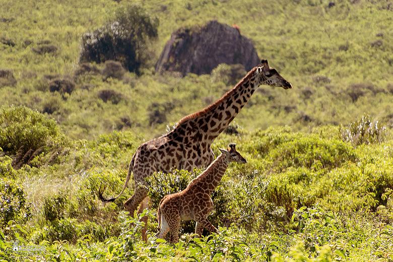 Tanzania - Moeder masaigiraffe, ook wel bekend als de kilimanjarogiraffe, wandelte samen met de kleine door het National Park van Arusha in Tanzania.