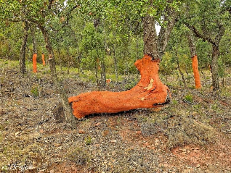 Kurkeik. - Een kurkeik in het Parque natural de la Sierra de Espadán te  Valencia. De kurk van deze apart gegroeide boom was net geoogst, dan is de ka