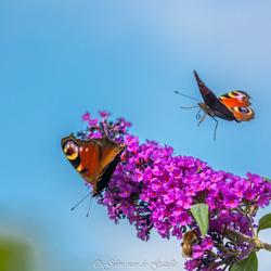 Drukte op de vlinderstruik