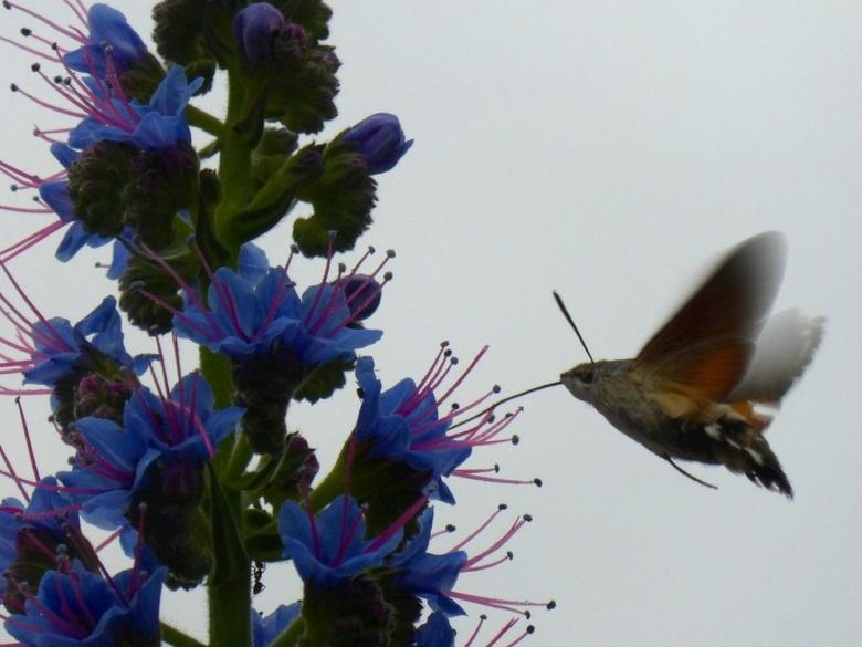 Glasvleugelpijlstaart op Madeira - Deze vlinder geniet met haar lange tong van de nectar op het bloemeneiland Madeira
