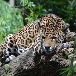 Jaguar lekker aan het rusten