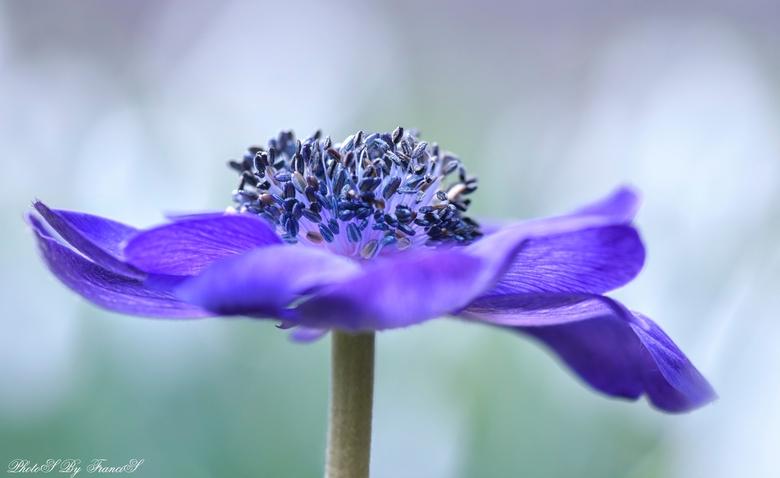 Purple and white. - Het heldere licht is ontstaan door de mooie in bloei staande sneeuwklokjes bij mijn buurvrouw in de tuin. Het was even wachten op