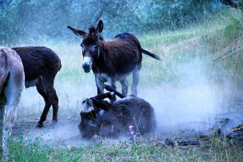 Beweging - Deze foto is gemaakt in Italië, vlakbij onze accommodatie.<br /> Zo af en toe leken deze ezels even een gekke bui te hebben en werd er ged