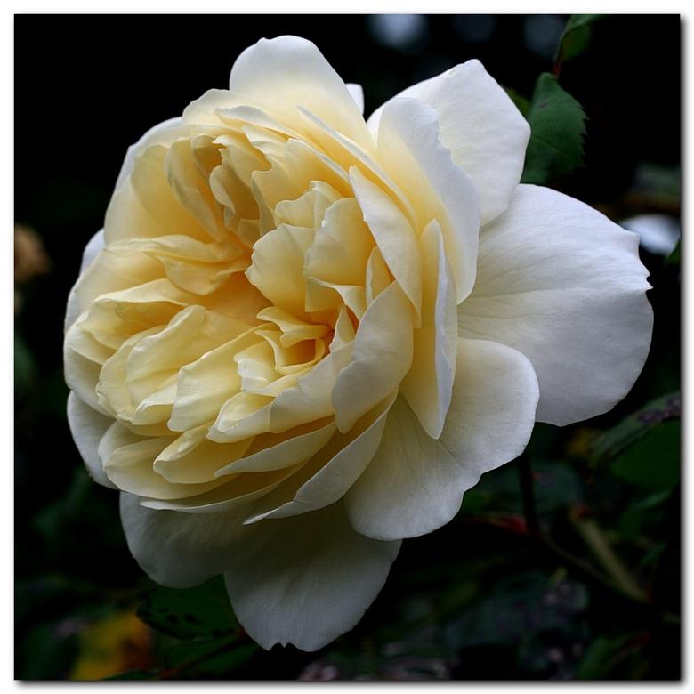 Voor Gea - Deze rozenfoto draag ik op aan Gea, een medezoomer die in het ziekenhuis ligt. Ik vond de actie van Frans zo leuk dat ik er ook een plaats.