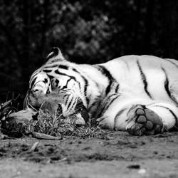 tijger doet middagdutje