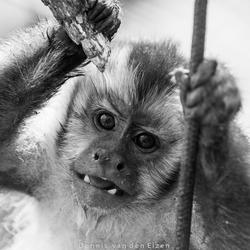 Kapucijn aap