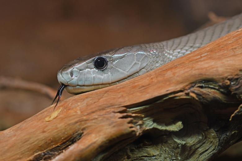 razendsnel - De zwarte mamba is in twee opzichten super snel. De slangen kunnen zich met een snelheid tot 20 kilometer per uur voortbewegen. En een be
