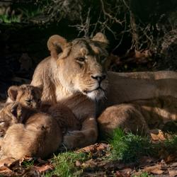 Leeuwin met jongen