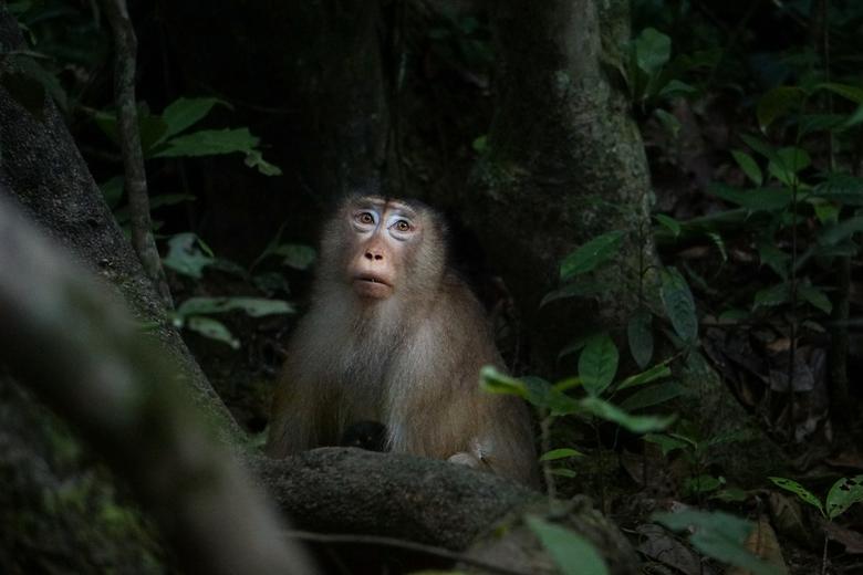 macaque monkey -