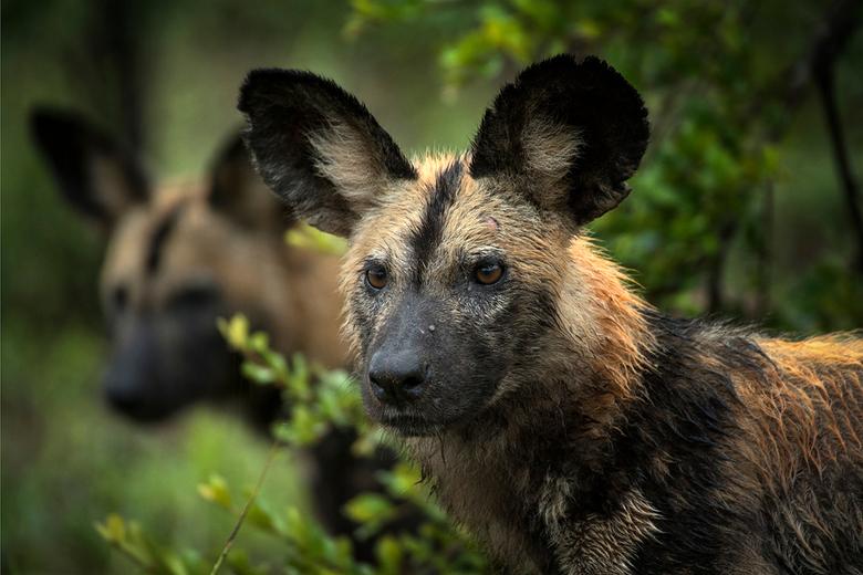 Painted Wolves - Weer terug van een fantastische reis naar Zuid Afrika, gelukkig mocht ik dit keer tweemaal mijn favoriete dieren ontmoeten.