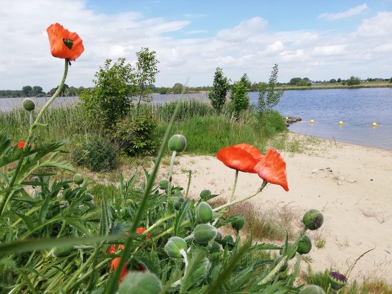 Klaprozen aan de Maas  - Klaprozen of papavers aan de Maas in Andel.