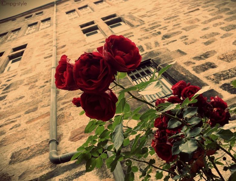 rode rozen (ippawards schoolopdracht schoolopdracht fotografie: 'Flowers') - Misschien kennen jullie www.ippawards.com wel, waar je je eigen foto&#039