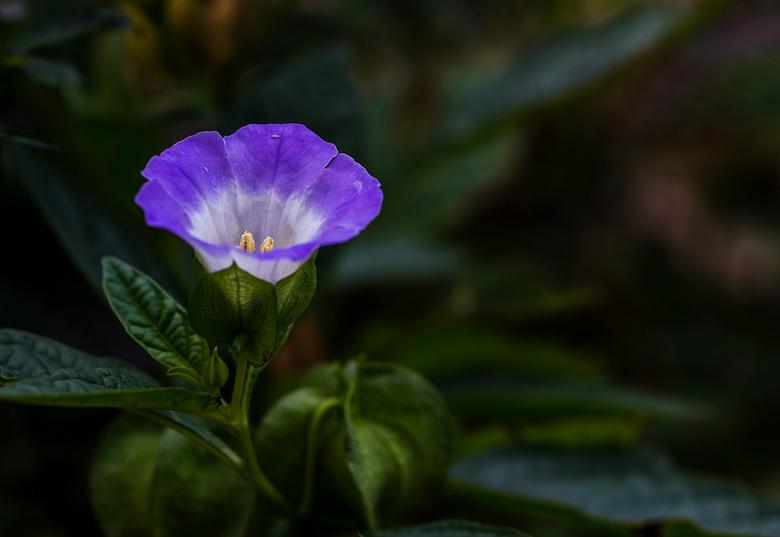 Bloemje in China( V-Z) - Foto gemaakt in Tiger leaping Yunnan China. De naam van het bloempje kan ik niet vinden maar lijkt familie van de Campanula.