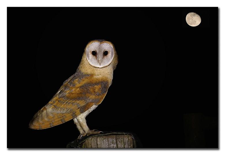 Wijze uil - een kerkuil is een nacht vogel, in de nachtelijke uurtjes, foto's mogen maken van deze prachtige wijze uil, geheel in alle vrijheid,