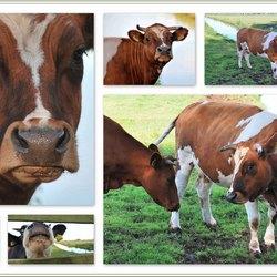 Koeien*