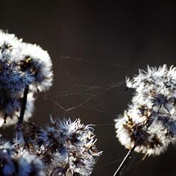 spinnenwebje