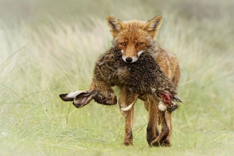 Big meal - Vosje met haas<br /> <br /> Amsterdamse Waterleidingduinen<br /> Wauw, het vosje kwam aangelopen met een flinke buit.... later hoorde ik