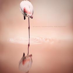 Flamingo reflectie