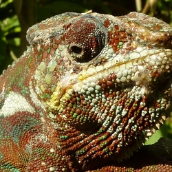 2013 Madagascar kameleon.jpg
