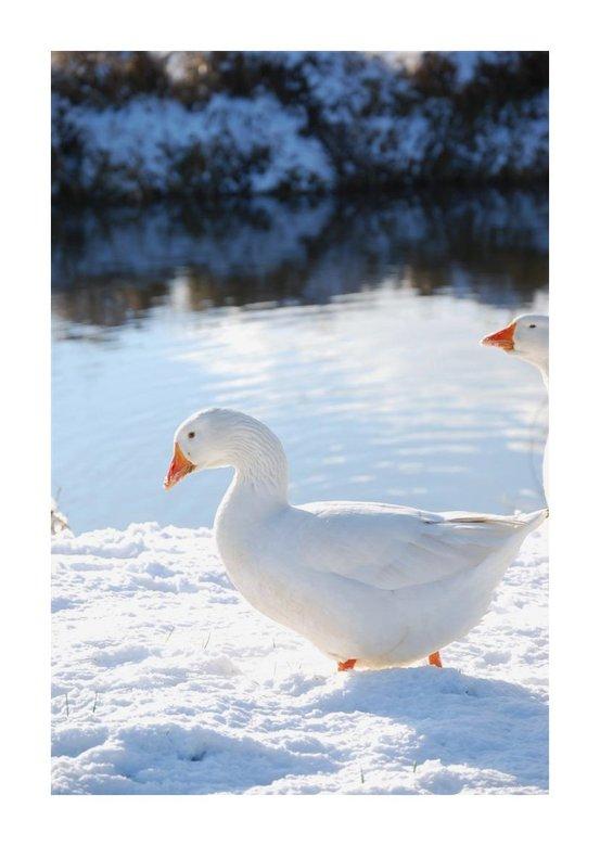 Witte gans -