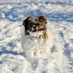 Sneeuwhond, winter 2012/2013