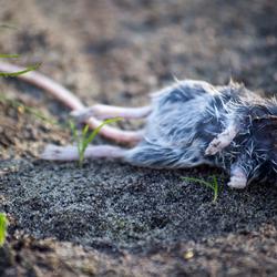 Dood muisje in mijn moestuin