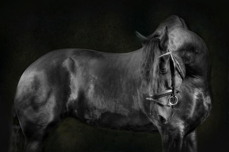 Friespaard - Fotoshoot met een friespaard.