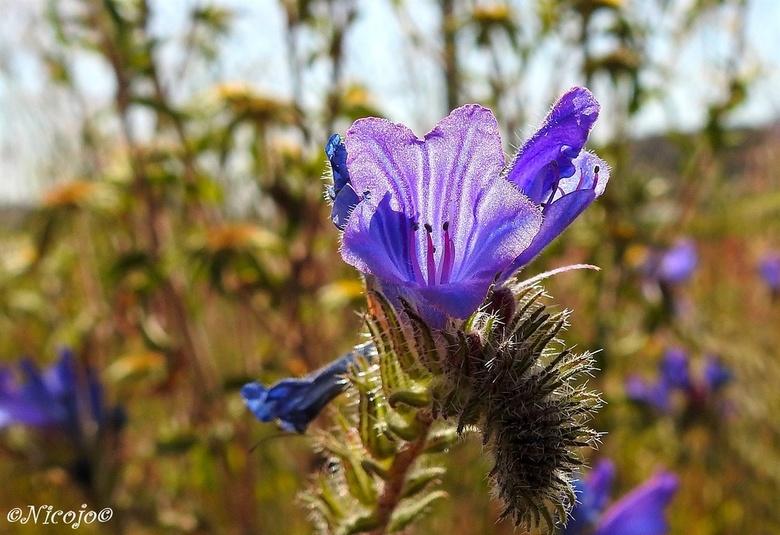Echium plantagineum. - Tegenlichtopname van deze Echium plantagineum, 'Blue Bedder' groeit aan de Middellandse Zee. Vormt een bossige ronde