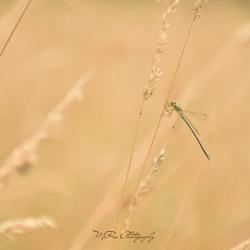 Juffer tussen het gras