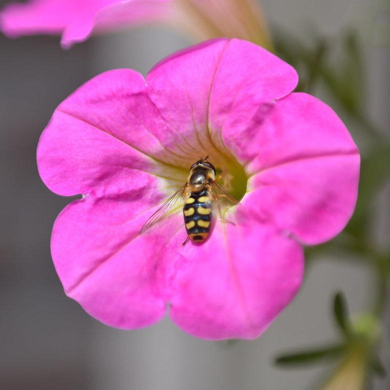 Kommazweefvlieg bij bloem - Deze foto is gemaakt met een omgekeerde 50mm lens. <br /> M.b.v. een omkeerring werd macrofotografie op een eenvoudige wi