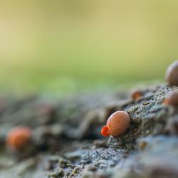 Wonderlijke natuur...................Oranje druppelzwam