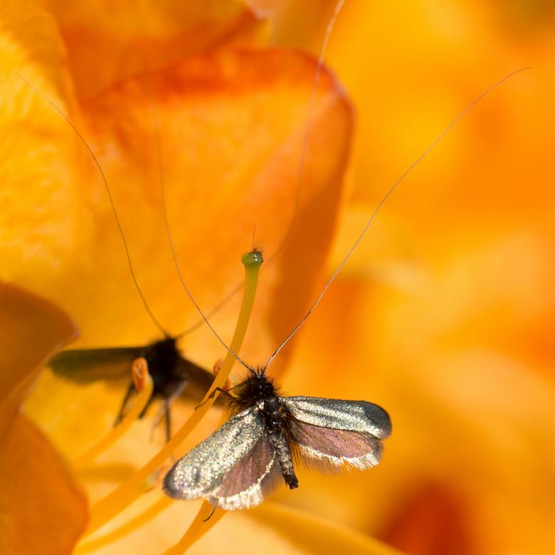 zilveren vleugels... - ...heeft dit langsprietmotje in de zon.