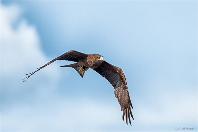 Gevlekte Arend - Deze gevlekte arend had net een visje uit de Okavango rivier bij Kasane, Botswana, gevist en vloog er triomfantelijk mee aan mij voor