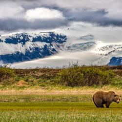 Grizzly beer in de wildernis van Alaska