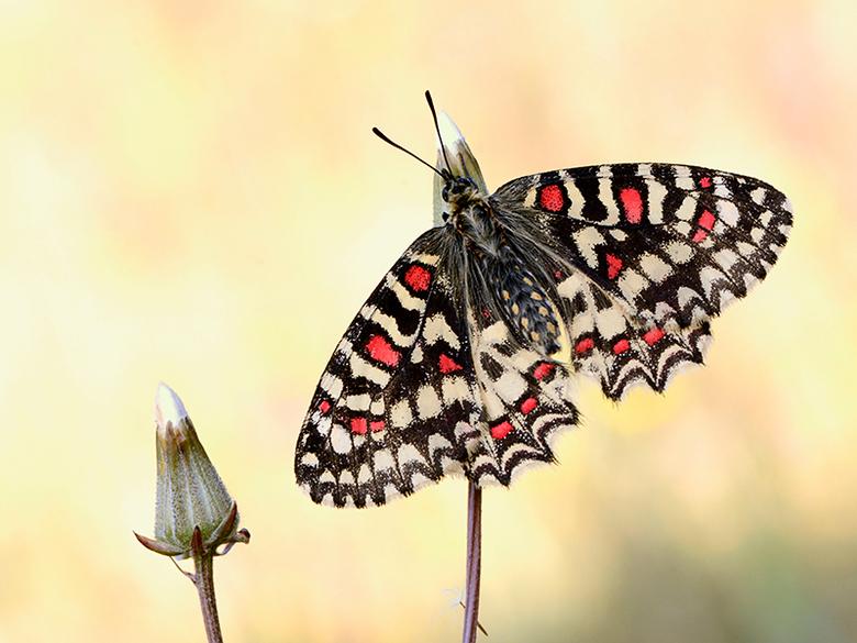 Spaanse Pijpbloemvlinder - Spaans Pijpbloemvlinder gefotografeerd in de Provence.