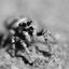 Zebraspin (springspinnetje)