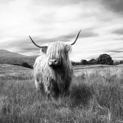 Schotse hooglander Black&White