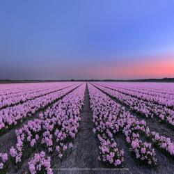 Blauwe uur tussen de hyacinten