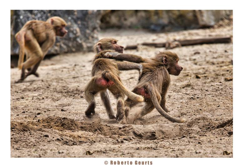 Mantelbaviaan - Deze jonge mantelbavianen waren lekker aan het spelen op de open vlakte.