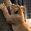 Leeuwtje een krap paal gevonden