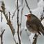 roodborst in sneeuw