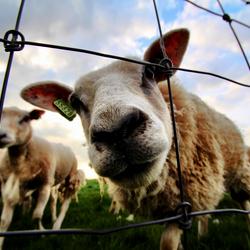 Groothoek vs schaap