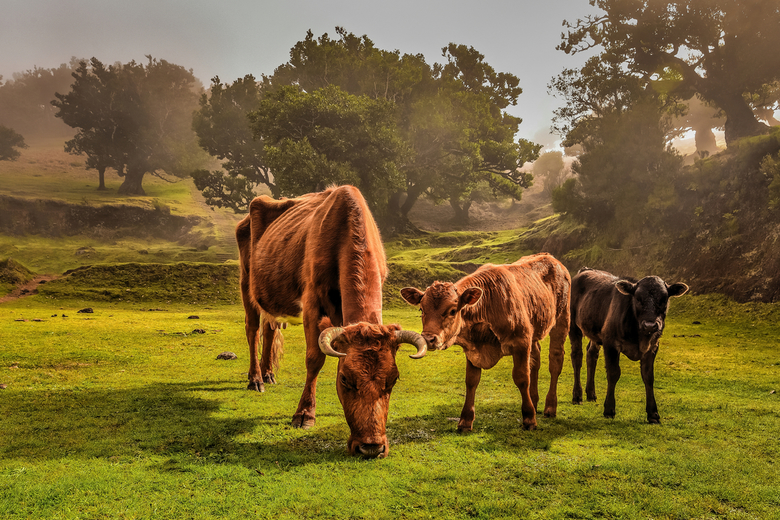 The cows at Paul da Serra plateau