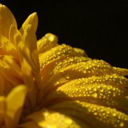 goudsbloem met druppels
