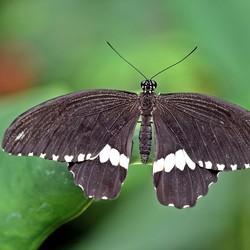 Papilio polytes ♂