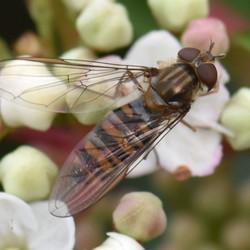 Snorzweefvlieg - Episyrphus balteatus