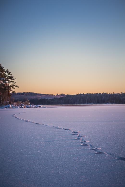 Wolf tracks - S'morgens vroeg, op een bevroren meer zijn de verse sporen van een eenzame wolf te zien