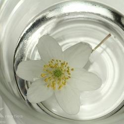 Bosanemoon in glas