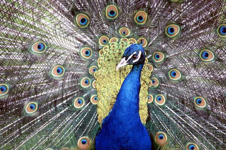 Peacocks Pride - Pauw